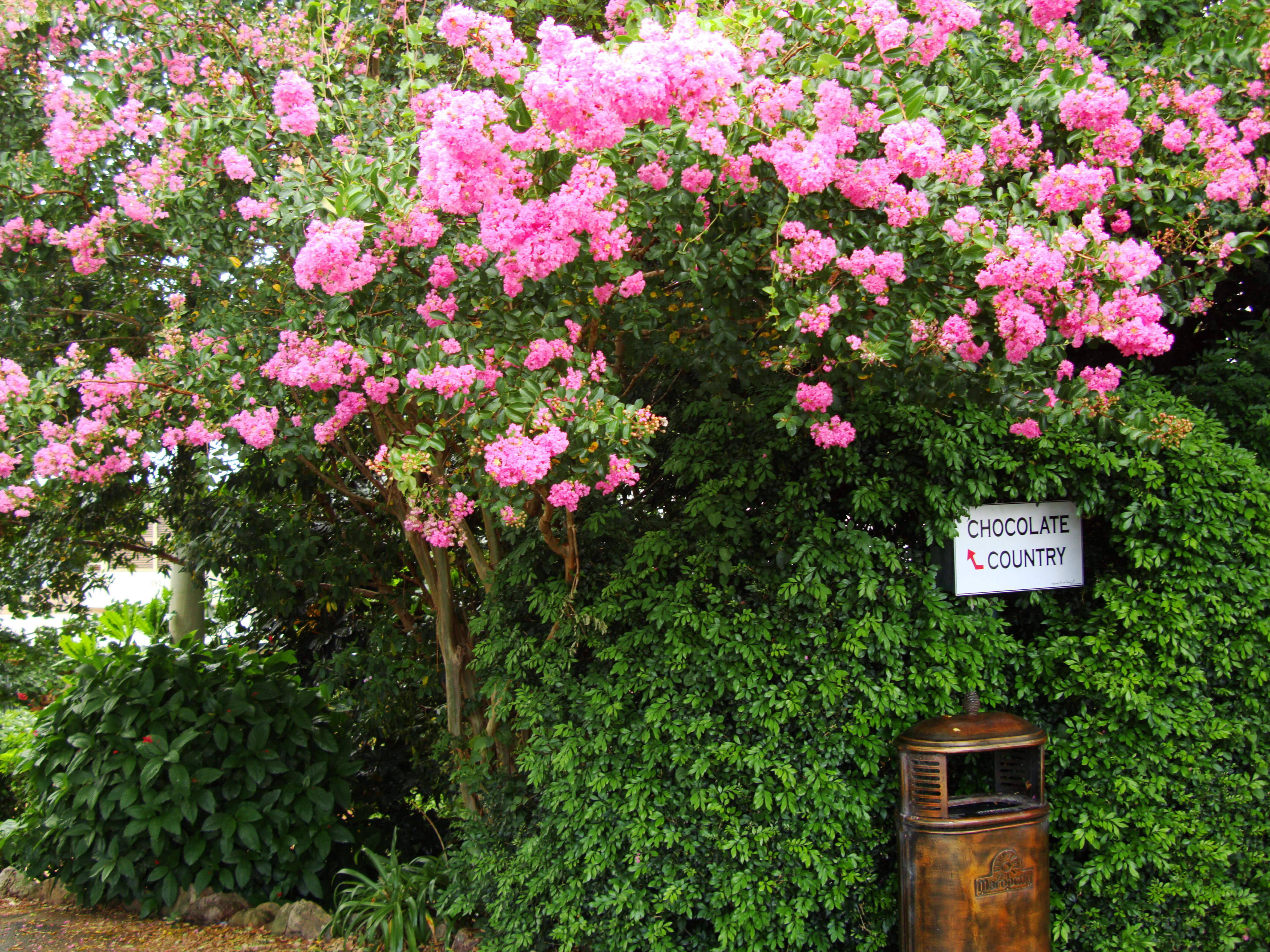 Australia flaxton area flowering bushes 01 images frompo - Blooming shrubs ...